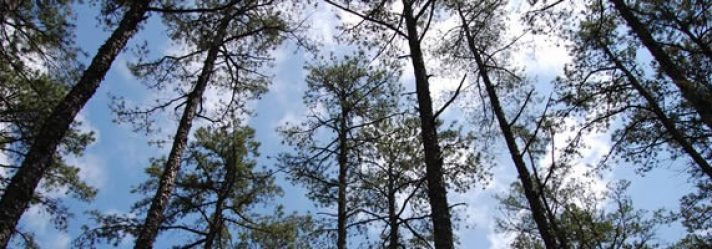 Why should I Invest in Pine-Producing Timberlands?